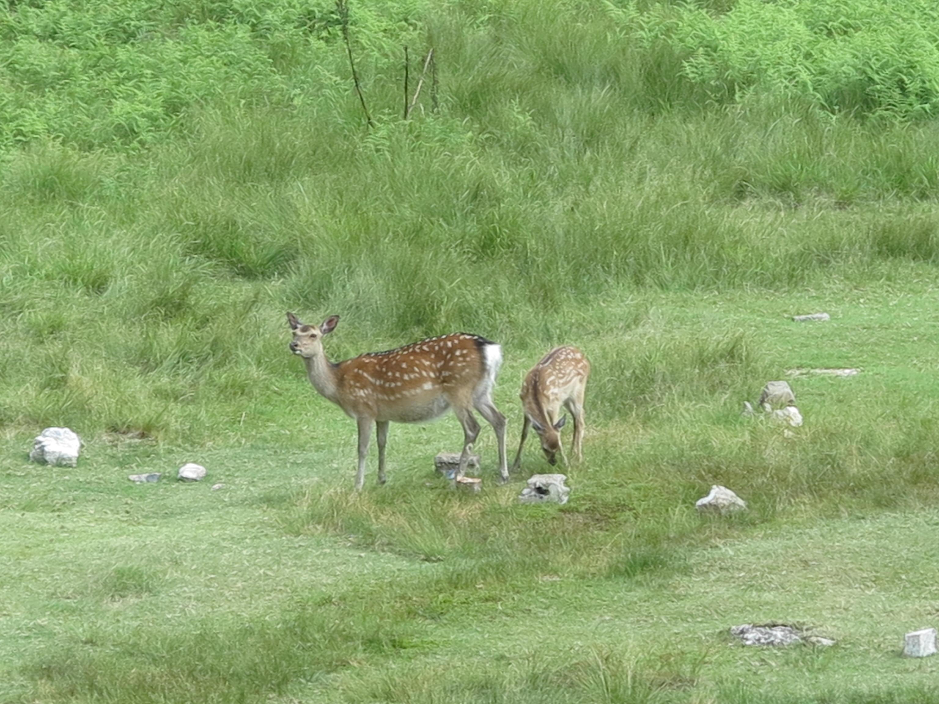明神平で草を食む鹿