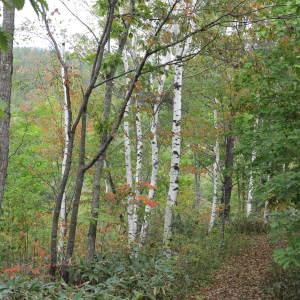 色付き始めた紅葉が白樺の白い樹肌に目立つ
