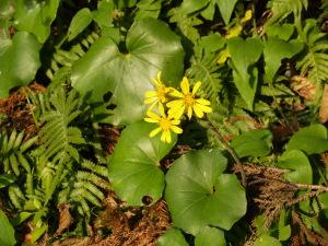 清見岳の山懐の新永吉という山里に咲く石蕗の花