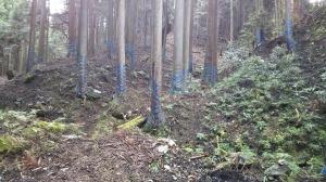芋ヶ谷林道終点の登山口付近の杉。これは尾根までずっと巻かれていた。