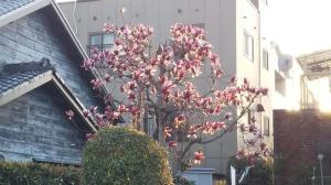 民家の庭に咲くシモクレン