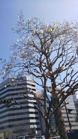 桜通りに面した街路樹の辛夷。シデコブシに似ている